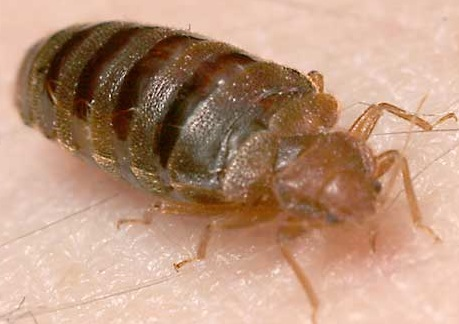 """Bed Bugs: Inspecting for the New """"House Herpes"""""""
